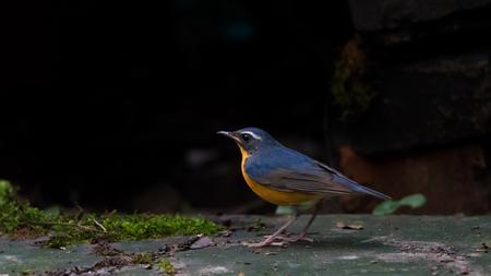 Indian Blue Robin Stock Photo
