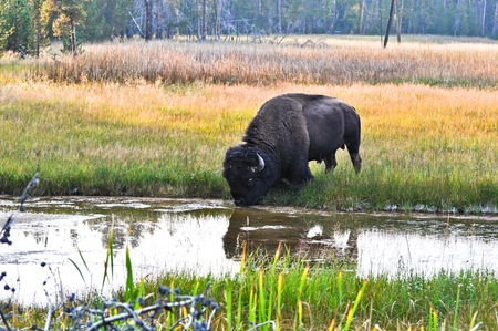 yak drinking water at the river