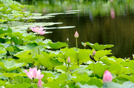 View of a pond with lotus plants and a bird