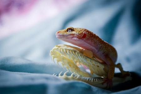 Leopard gecko and jadoku Stock Photo