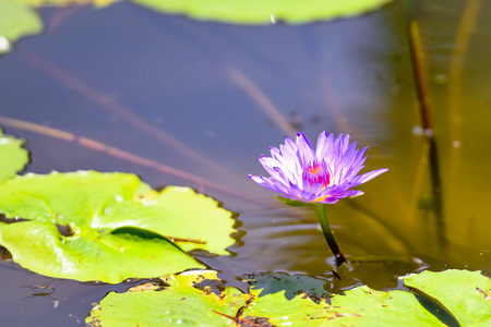Egyptian blue water lily