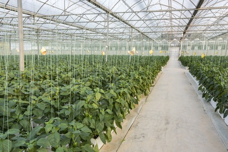 Agricultural greenhouse cultivation Stock Photo