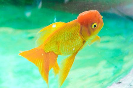 Red goldfish in an aquarium