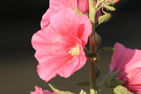 Hollyhock flower close up view