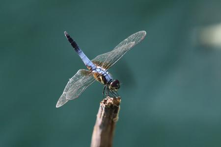 Dragonfly, lotus