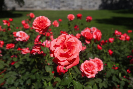 The red rose flowers blooming bright flowers in Beijing Stock Photo