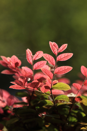 Redrlowered Loropetalum Stock Photo