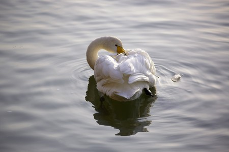 A wild white swan with a head carding feathers on the river