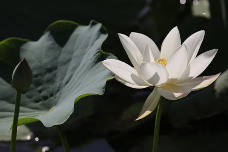 A white lotus flower in full bloom Stock Photo