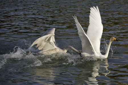 white swans on the water Stock Photo