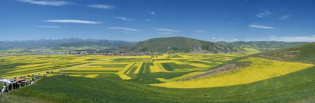 rape flower field landscape