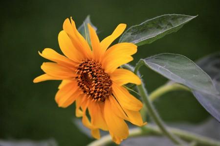 Sunflower under the setting sun