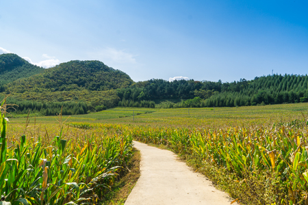 The path along the corn field