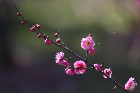 Plum blossom close up view