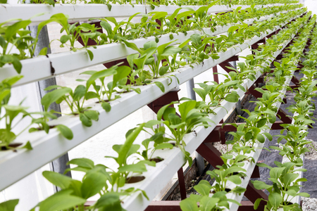 Soilless cultivation of vegetables in Greenhouse