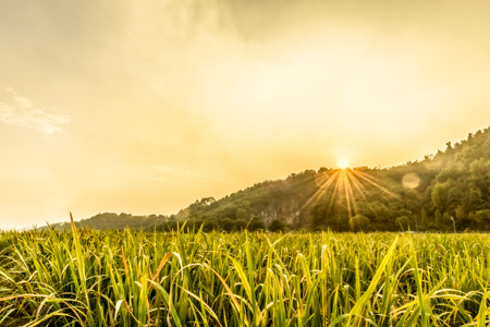 The backlighting in paddy field Stock Photo