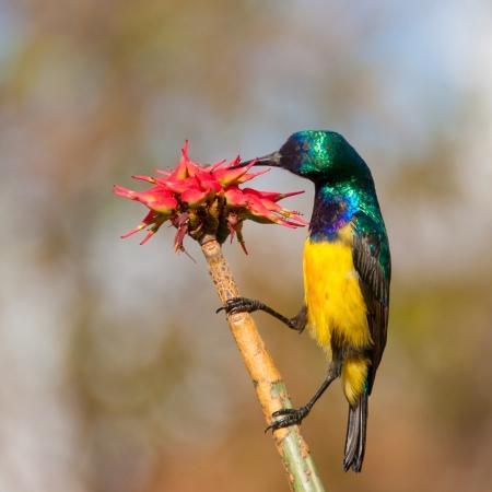sunbird: Collared Sunbird on Aloe vera flower