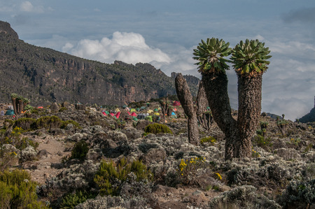 senecio: The Barranco campsite on Kilimanjaro with some large Senecio trees on the right