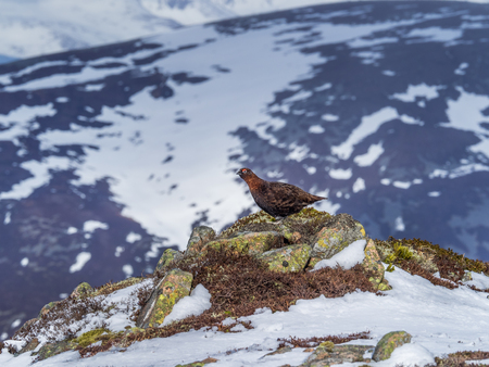 A Male Red Grouse on the spring snowfields above Glenshee in Scottish Highlands looking for food Stock Photo