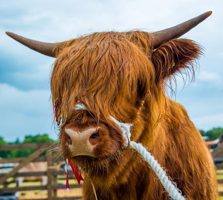 A prize winning highland cow at a local country show in Scotland Stock Photo