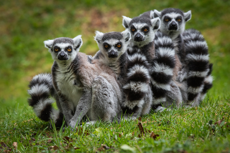 A family of Ring Tailed Lemurs lining up for the photographer Stock Photo