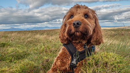 A young red cockapoo sitting in a field on Holehead in the Campsie Fells, Scotland