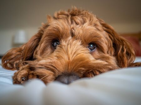 A young red cockapoo lying on a soft bed and watching his owner