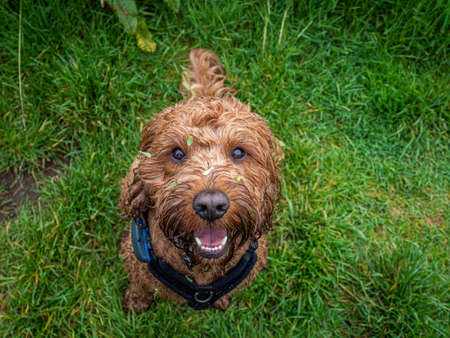A young cockapoo sitting attentively in a field of grass during a walk with his owner