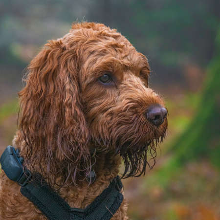A young cockapoo dog sitting attentively in a forest Stok Fotoğraf