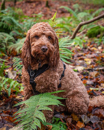 A young cockapoo sitting in amongst the bracken in a local forest Stok Fotoğraf