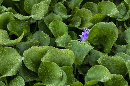 invader: Alien Invader (Eichhornia crassipes) color Stock Photo