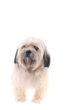 Shih Tzu dog isolated on a white background. Isolated dog