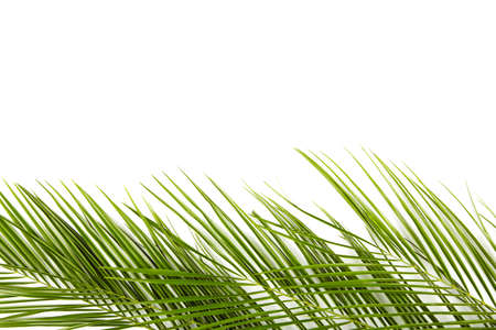 Green leaves of palm tree isolated on white background, top view