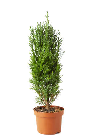 Cypress in pot isolated on white background. Coniferous trees Banque d'images