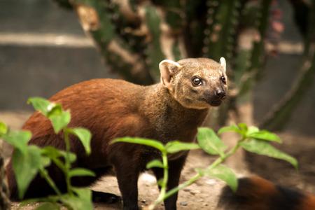 redish: Brown redish fossa specific of Madagascar