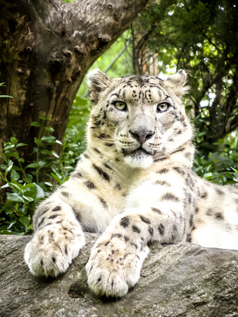 Snow leopard laying on a rock