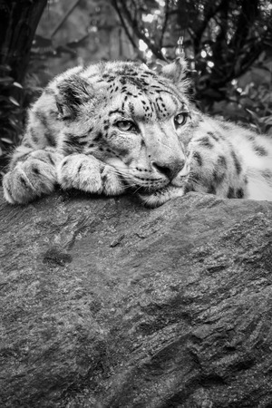 snow leopard: Black and whithe image of a snow leopard laying on a rock