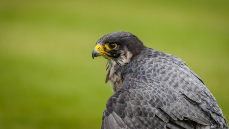 The peregrine falcon (Falco peregrinus), historically known as the duck hawk in North America, a bird of prey in the Falconidae family. It has yellow cere and feet and black beak and claws. Copy space