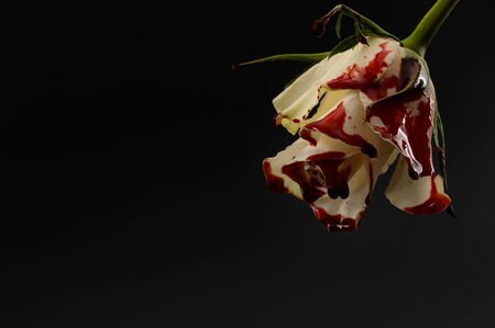 Hopelessness,Innocence lost through tragedy, grief and mourning of a early loss conceptual idea with bleeding white rose with drops of blood dripping isolated on black background with copy space