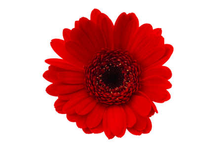 Seasonal flower and romantic gift concept theme with close up on red gerbera daisy isolated on white background with a clip path cutout