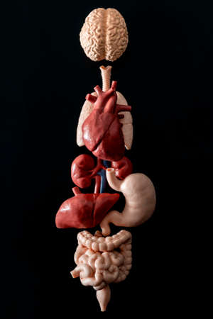 Human anatomy, organ transplant and medical science concept with a collage of human organs in anatomically correct position like brain, heart, lungs, stomach and liver isolated on black background Standard-Bild