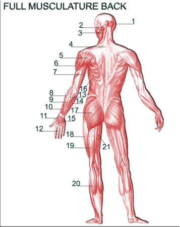 musculature: Full musculature back