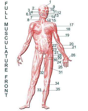 musculature: Full musculature front