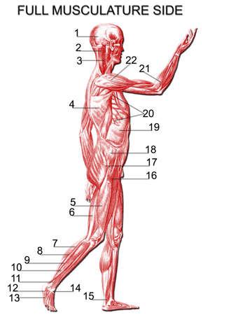 musculature:  Full musculature side