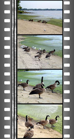 waterfowl: Film of wild goose