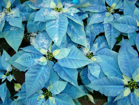 Poinsettia with a very rare color (blue)