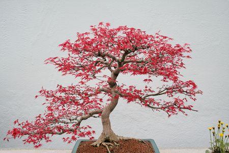 At spring, Japanese maple bonsai. Standard-Bild