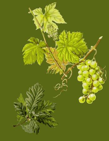 오크, 도토리와 grapewine 녹색 벽지.