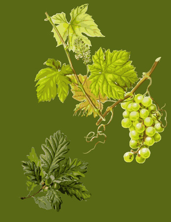 Green wallpaper with oak,acorn and grapewine.