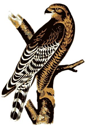 Buzzard Illustration on a branch.